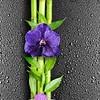 Панель стеновая ПВХ Орхидея 250х2700 мм